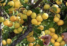 mandarine-04